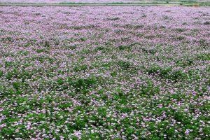 レンゲのはちみつの花