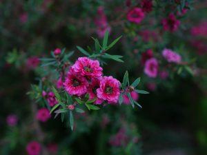 マヌカの花について