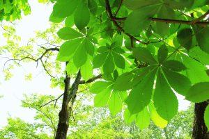 マロニエ(とちの木)