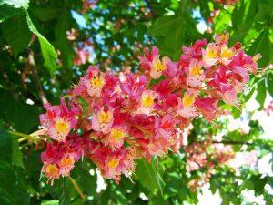 マロニエ(とちの木)の花